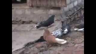 Николаевские голуби Вадима часть 2-2014г