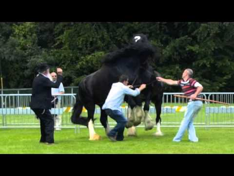 Stallion fight two irish shires youtube