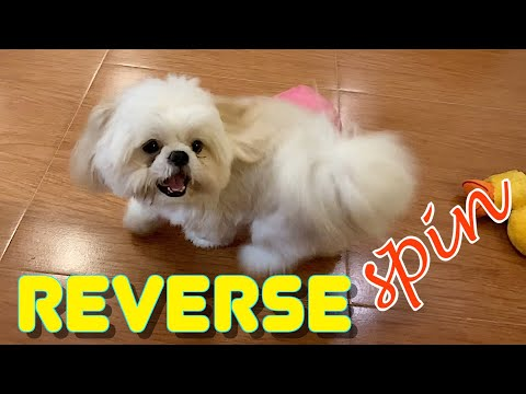 Smart Shih Tzu Learns How To Do The Reverse Spin (Cute Funny Dog Video)