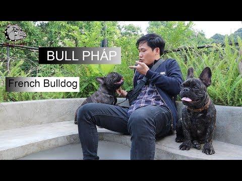 [DOG REVIEW] FRENCH BULLDOG - Bull Pháp -   / Hùng Chó Channel