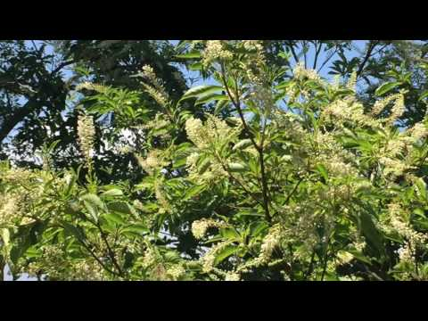 白い花に集まるチョウ乱舞