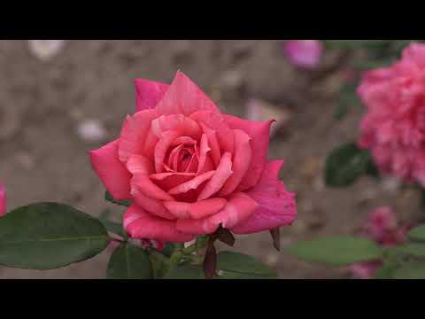 Красивые сорта Аптаун Герл, Мадмуазель Мейян, Эшли питомник роз полины козловой rozarium.biz