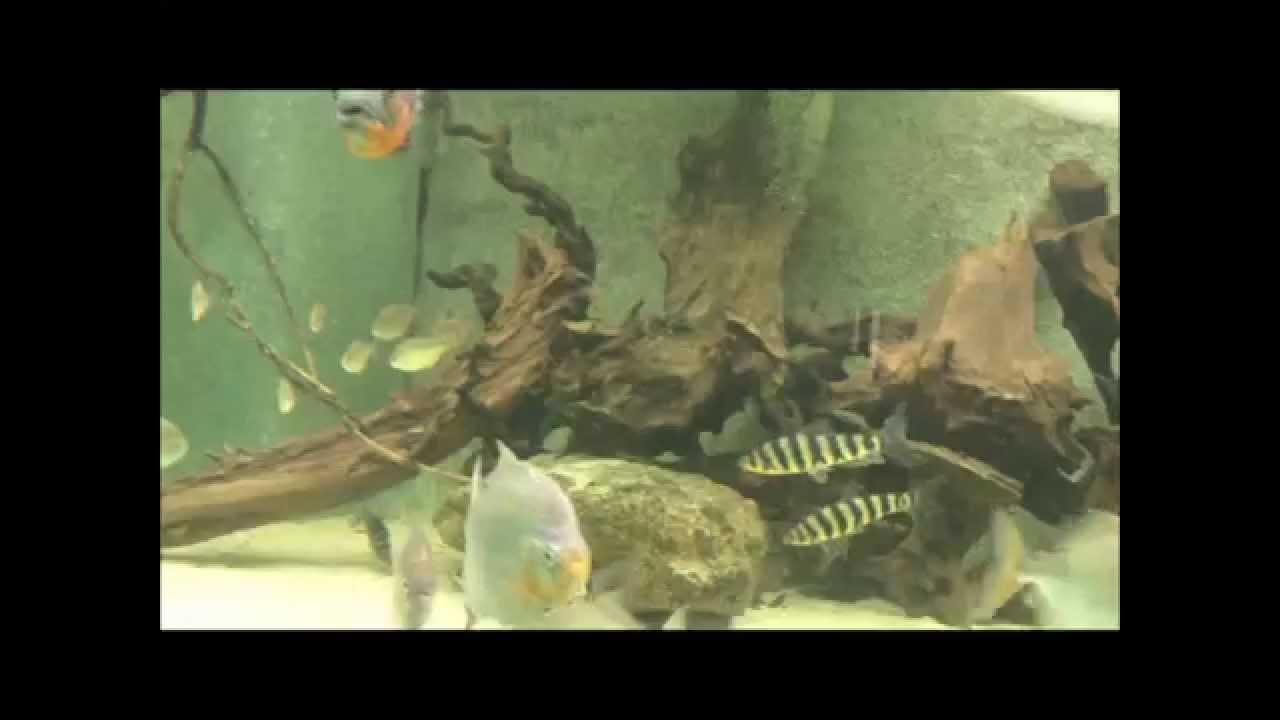aquarium 12000 litres amerique du sud cichlides myleus potamotrygon ...