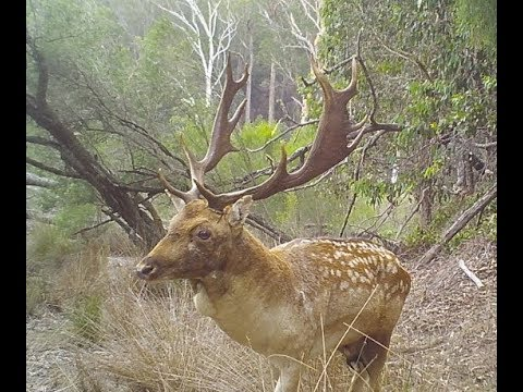 NSW State Forest Hunting - The Fallow Rut 2018 Day 2 - Surprised By A Stag
