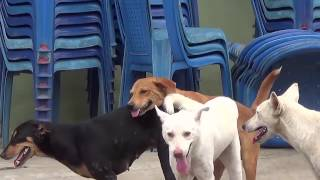 Repeat youtube video Dog Mating Up Close I Three Dogs Mating and Get Stuck
