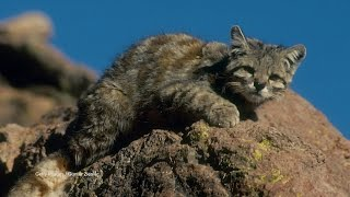 Little Mountain Kitty Rules the Andes