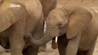 Secrets of the Desert Elephants - National Geographic Documentary 2019