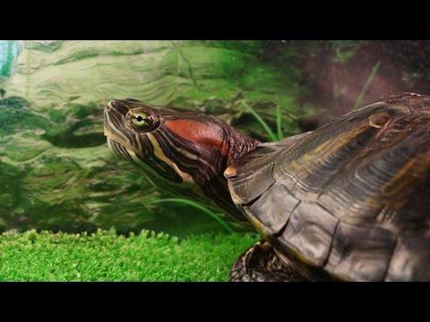Кормление красноухих черепах! 10 ответов на самые популярные вопросы/Feeding  turtles!