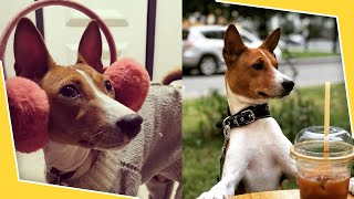 Basenji Dogs 101 | Are they good pets?
