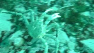 Kongekrabbe i kongsfjorden