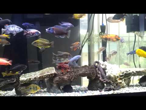 Overpopulated 55 Gallon Cichlid Tank With 78 Fish.
