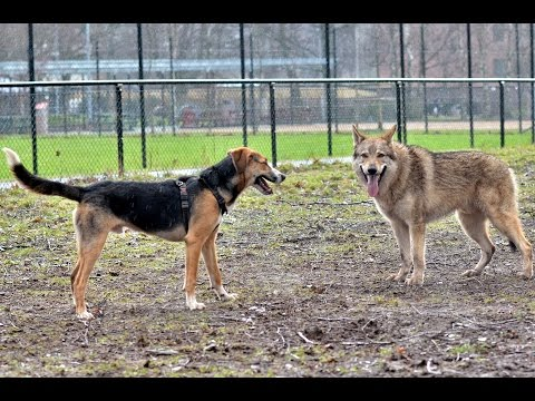 Czechoslovakian Wolfdog Lovec - The Dawg Park IV, pack of dogs playing