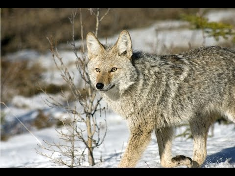 Amazing Facts About Coyotes
