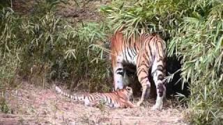 多摩動物公園アムールトラ_シズカの子育て thumbnail