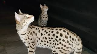 Savannah cats outside in the night