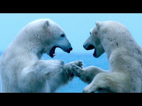Meet the Polar Bears of Hudson Bay | Op-Docs