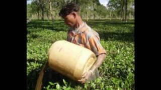 Gobin Hazarika's organic tea garden.wmv