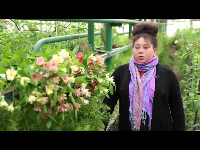 Альстромерия: посадка, уход, выращивание в теплицах