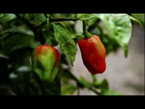 Peru News: The newest Peruvian superfood to hit the market
