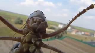 Кузнечики (Tettigonodea). Крупная особь. Никита Нюняев (7 лет). Южный (Южное) Одесса. Июль 2018