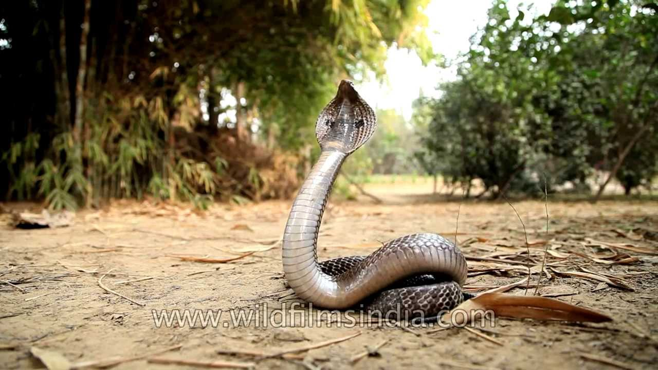 cobra rears up its head in strike pose youtube