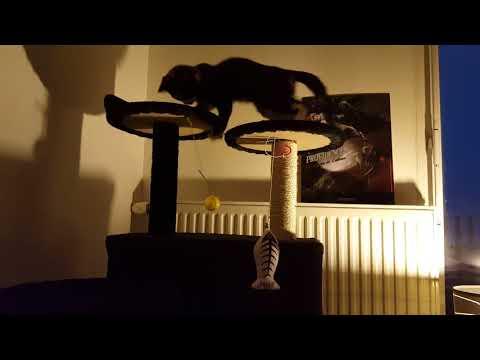 Kitten evening playtime on the cat tree.