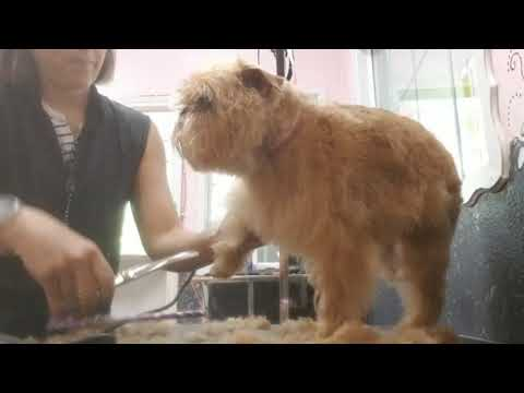 How to groom a Brussels Griffon