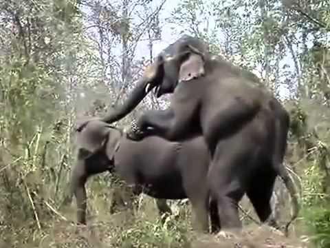 Интимная жизнь секс слонов фото фото 570-458