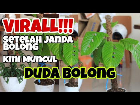 Rhaphidophora Foraminifera Duda Bolong Yg Muncul Setelah Janda Bolong Youtube