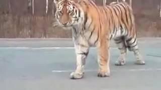 Огромный тигр остановил движение на трассе Хабаровск-Владивосток