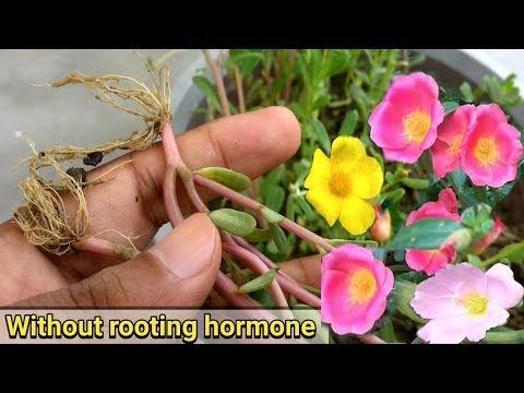 Easiest way to grow Purslane from cutting ( Portulaca Oleracia )