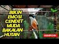 Pancingan Ampuh Pancingan Cendet Muda Hutan Bahan Bakalan Agar Bunyi  Mp3 - Mp4 Download