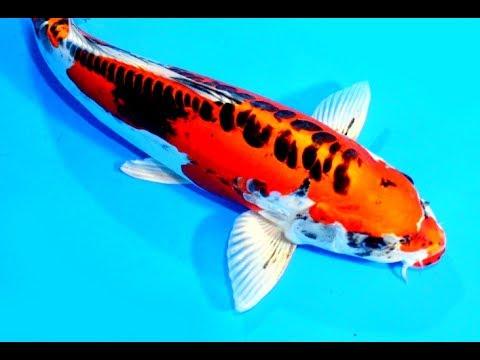 Cara Mencerahkan Warna Ikan Koi How To Make Your Koi Fish