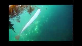 Repeat youtube video The Oarfish, the King of Herrings