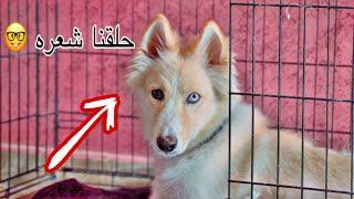 شوفوا كيف راح الكلب الهاسكي (مايلو) لبيته الجديد 😻❤️