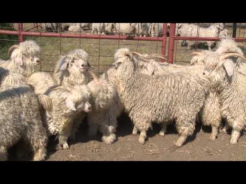 Shear Genius | Angora Goats