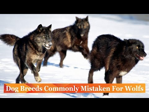 Dog Breeds Commonly Mistaken For Wolf