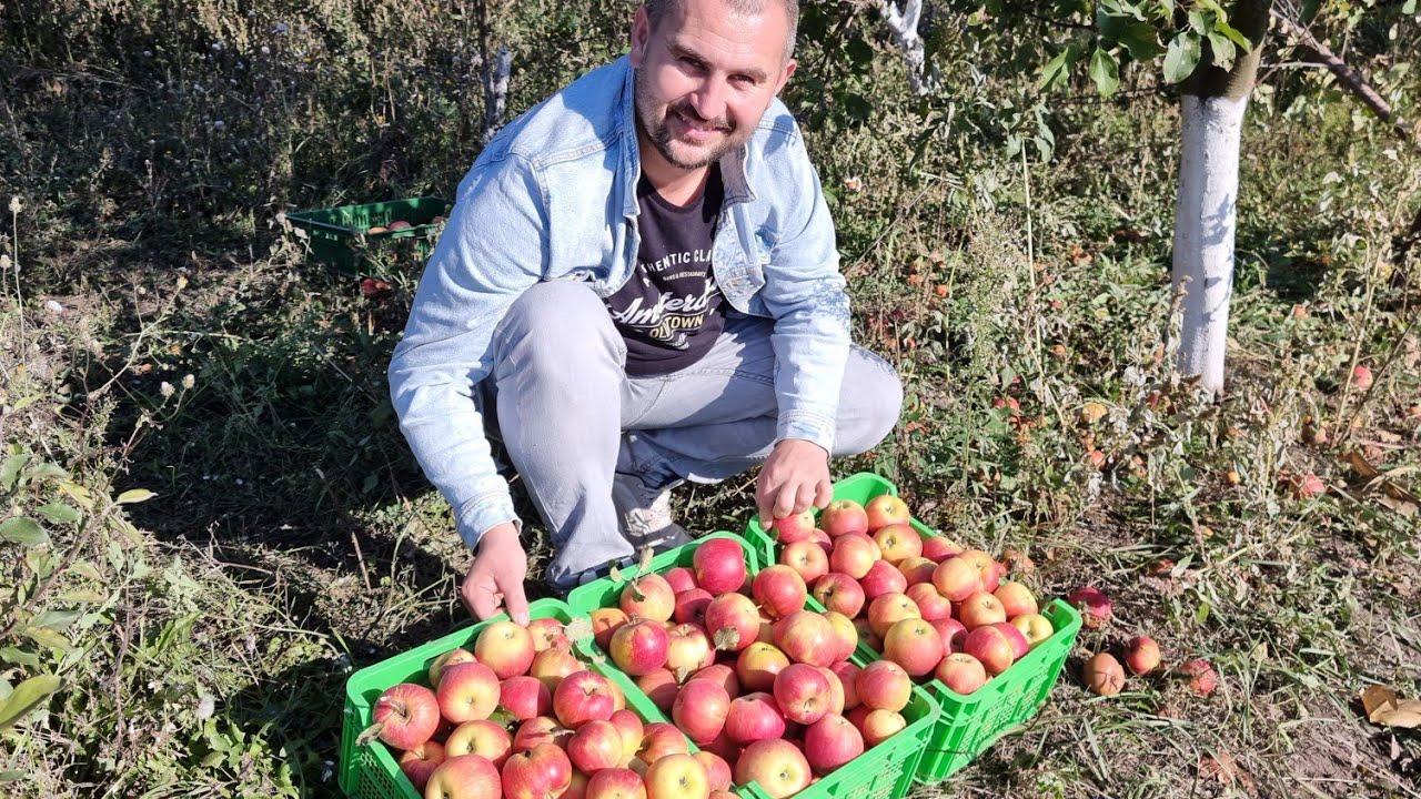 этот сорт яблок Вам понравится!