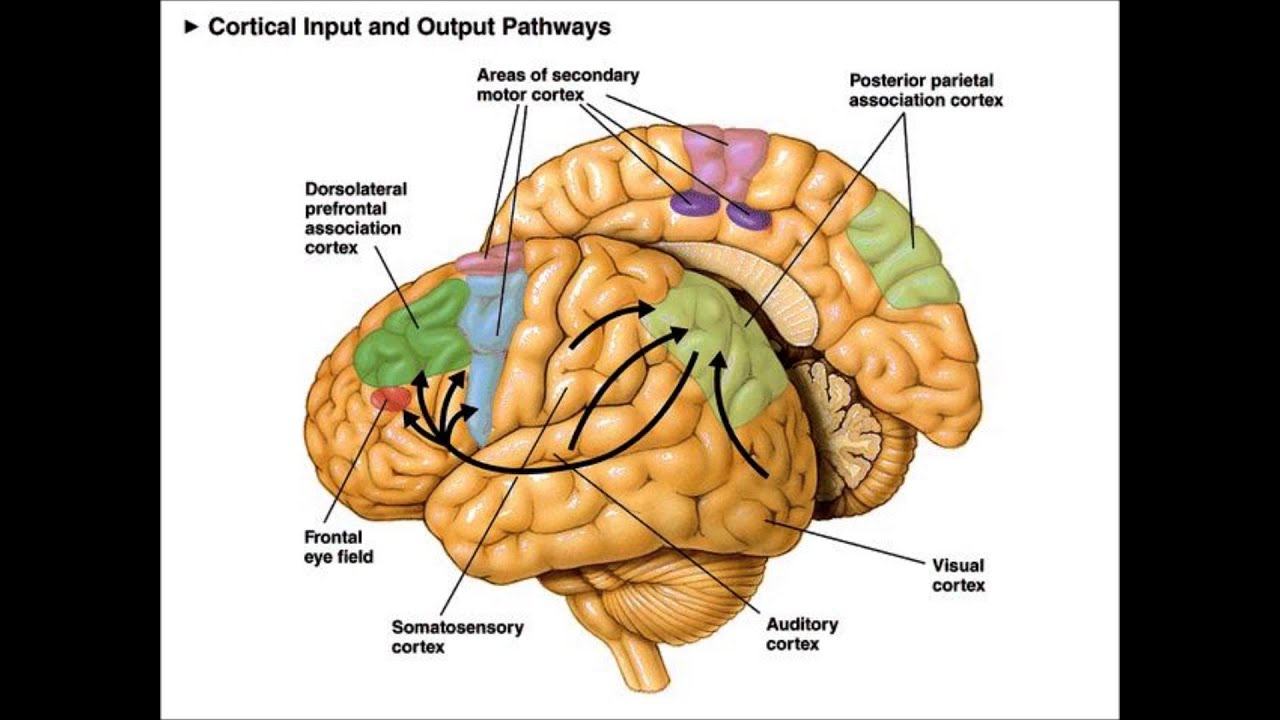 orbital frontal dorsal lateral brain diagram parts of the insula rcd spur wiring sensorimotor association cortex youtube