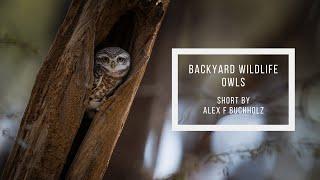 Indian Owls   Backyard Wildlife in Gurgaon   Wildlife Film by Alex F Buchholz