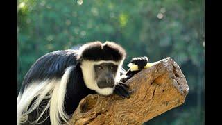 Изуродованная обезьяна. Колобус. Animals & fish.
