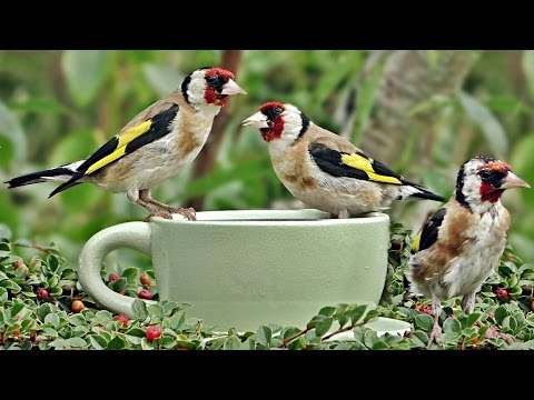 Beautiful Birds in Goldfinch World - The Little Green Bird Cup