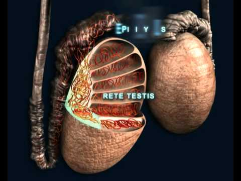 RUSmedical - ANDROLOGY - Male Reproductive System - ENG