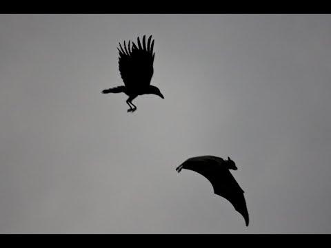 Crow is the dark knight