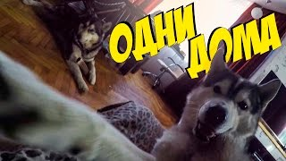 Собаки дома, разгром в квартире!
