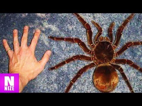 Die 10 Größten Spinnen der Welt!