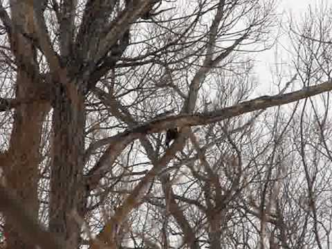 Pileated woodpecker sounds