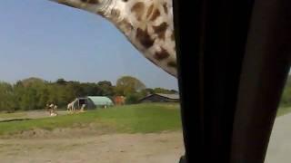 atakujace zyrafy