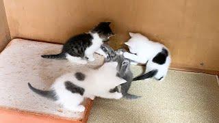 3対1で攻撃される子猫