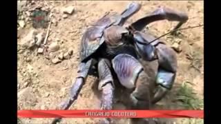 El cangrejo más grande del mundo